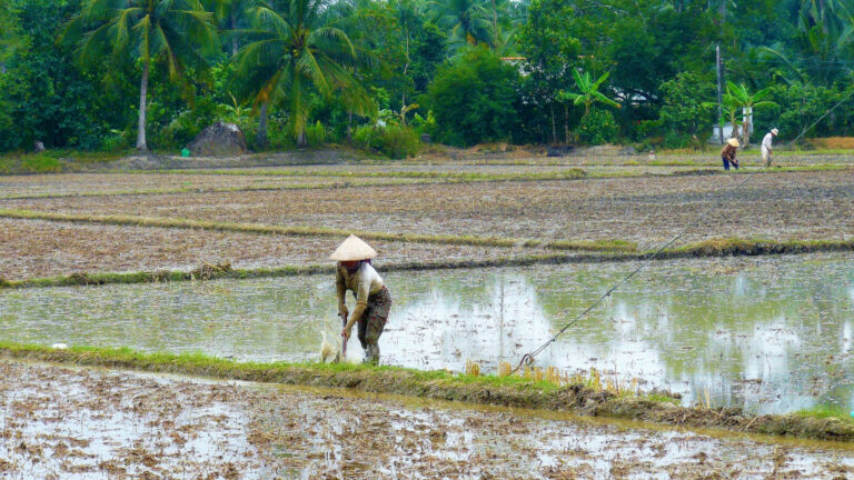 Farmers tilling rice paddies in the Mekong Delta