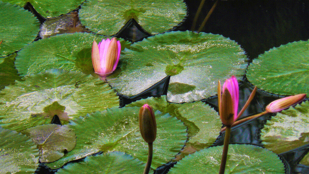 Lotus flowers in the well within the third courtyard
