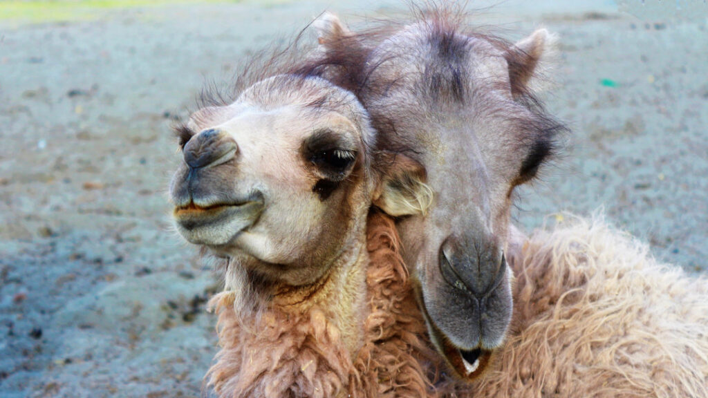 Double-humped Bactrian camels