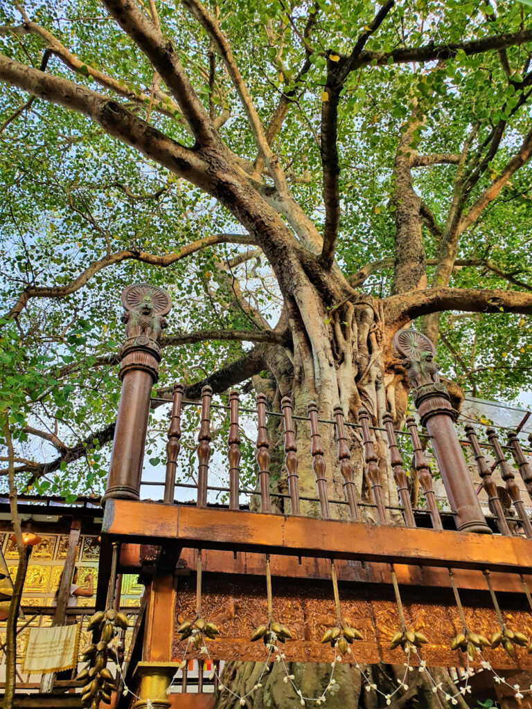 A Bodhi tree