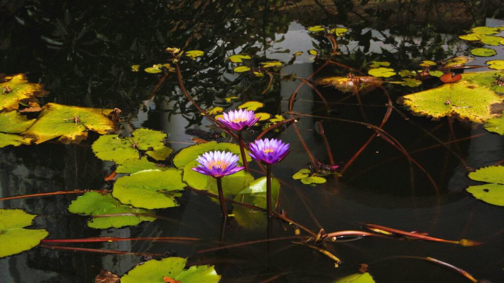 Lotus flowers in bloom