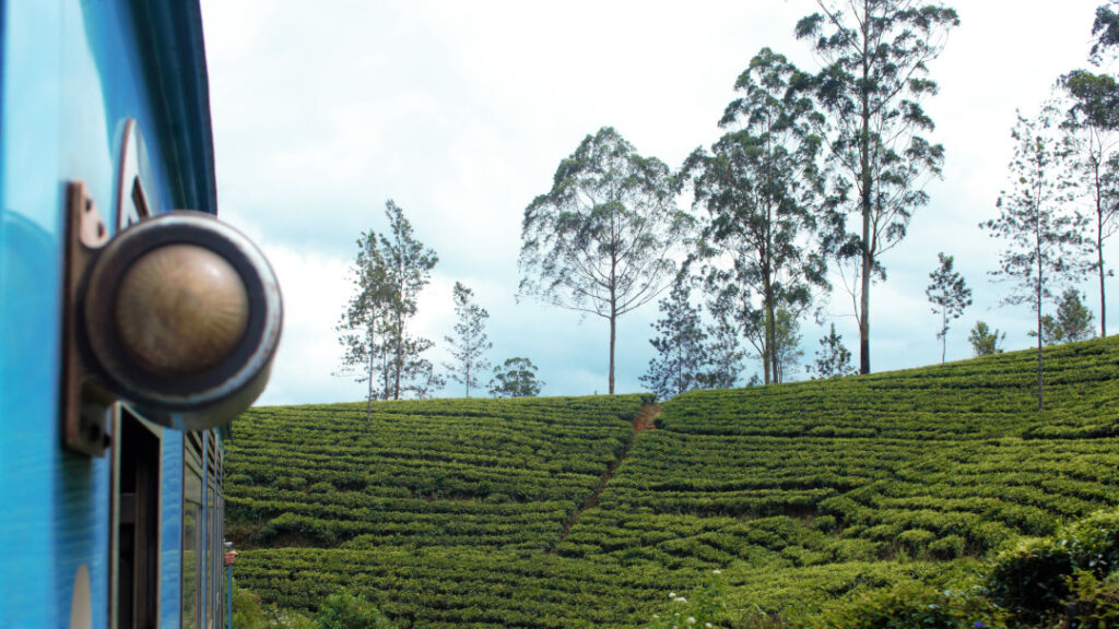 Passing through lush green tea plantations