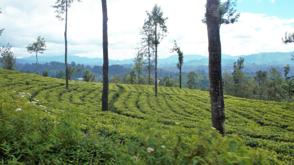 Lush green tea plantations